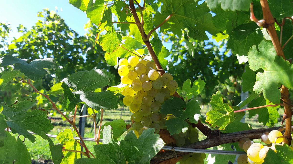 Volle Pracht im Weingarten